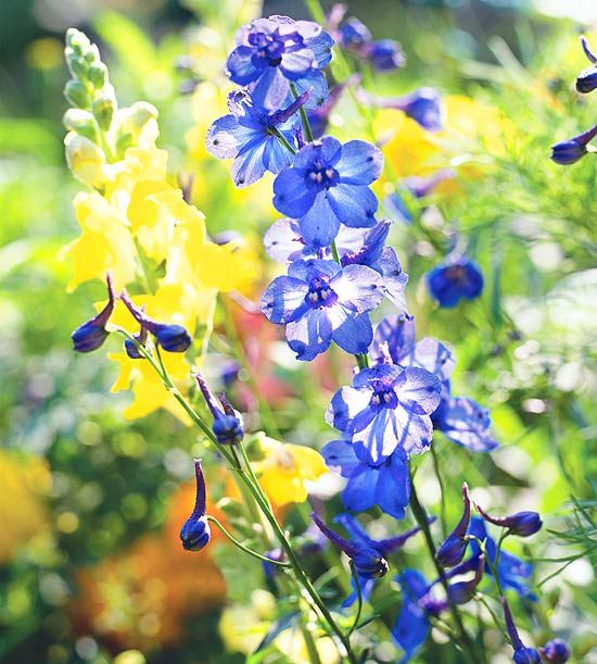Looking for a blue flower to add to your garden? Larkspur, or Consolida ajacis, is a showy, beautiful annual plant that fits the bill. These garden cottage staples are also deer resistant and drought tolerant.