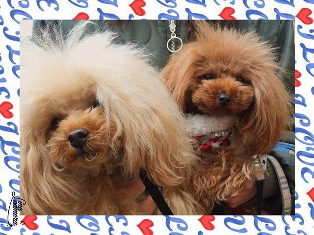 Happy Friday Angeraviお客さまのトイプードルシスターズ お揃いのヘアスタイルでまるでツインズですね みなさま素敵な金曜日を Ange Ravis Users Toy Poodle Sisters Looking Like Twins With The Same Hair Style Hundar