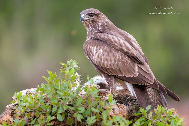 Common Buzzard by Uriarte via http://ift.tt/2grY7g5