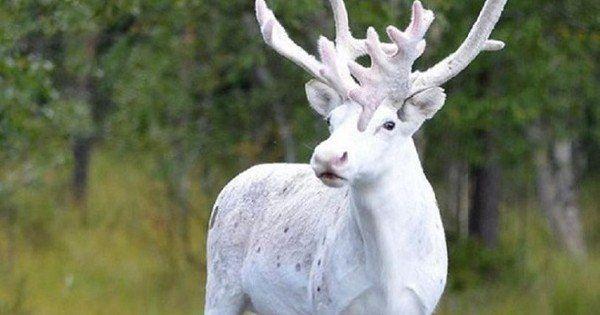 Découvrez ce renne blanc très rare aperçu en Suède... Quel animal magnifique !
