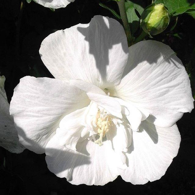 Hibiscus ganz in weiß. #hibiskus #garten #sommer #marievonmariesblog #mariesgarten
