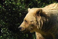 Grizzly Bear Profile Stock Photos