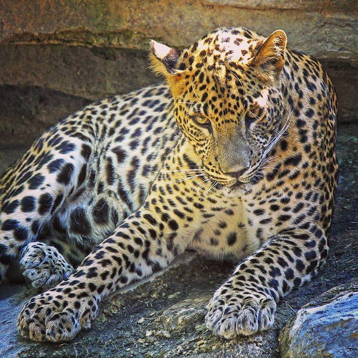 ¡#BuenosDias y #FelizViernes desde África en #Valencia! 📷 El último cachorro de #leopardo nacido en #BioparcValencia ha cumplido 1 año recientemente y así de precioso podemos contemplarlo 😍 #ExperienciasBioparc | #Leopard - #BIOPARC | #Bioparco #Биопарк #Валенсии #IgersValencia #animalprint #animallover #animale #animal #animalsco #estaes_animal #ValenciaEnamora #valenciagram #igersBioparc #summervibes #UnicoEnSuEspecie #AfricaEnValencia