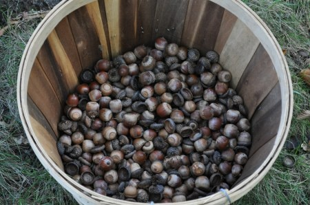 For me, as a quilter and dyer, my interest in Acorns lies in the natural mordant abilities. I use Acorns to set dyes with cotton and linen fabrics. So as I gather Acorns, I collect the caps, the shells, and the nut with the shell since all parts of the Acorn contain tannin.