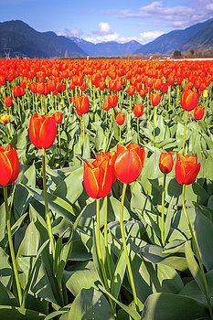 Art Calapatia - Orange Tulips 11
