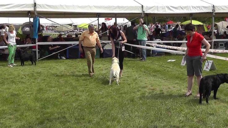 Miskolc Marathon Dog Show 2013.04.27. Labrador retriever