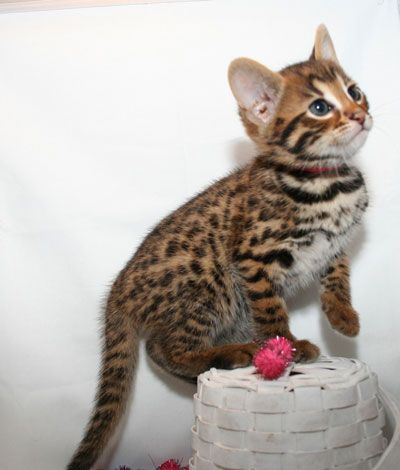 I want a bengal kitten! too bad they cost as much as a lot of horses...