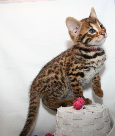 Too cute, Bengal Kitten