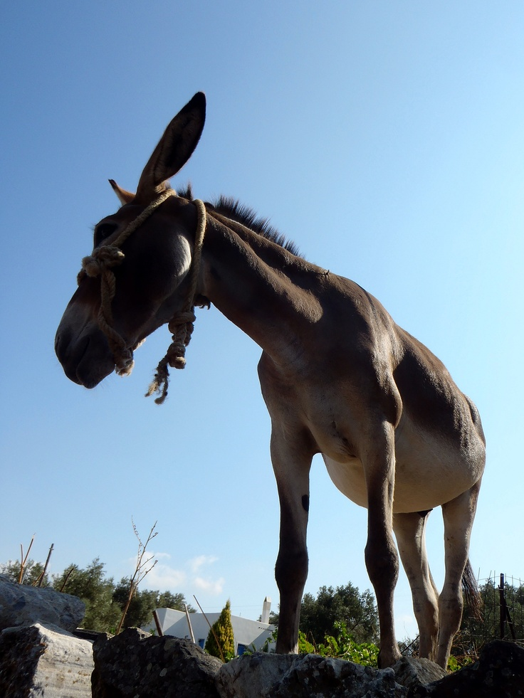 Donkey in Naxos