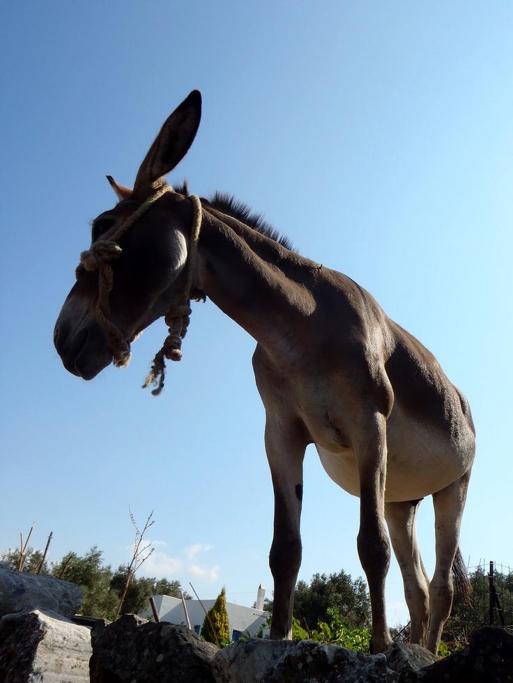 Donkey in Naxos