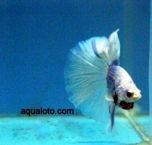 Pez betta macho #acuarios #peces #bettas
