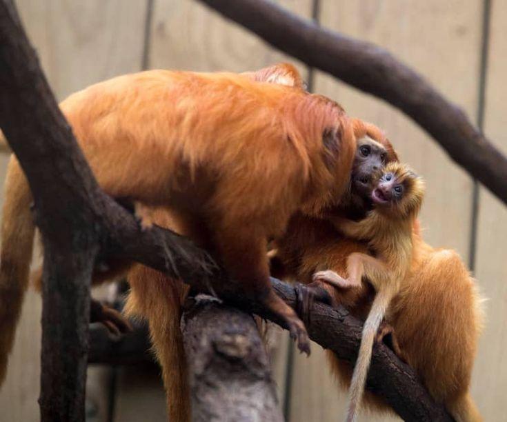 Zwei neue Tamarins für Zoo de Beauval Zoobornen Zoo
