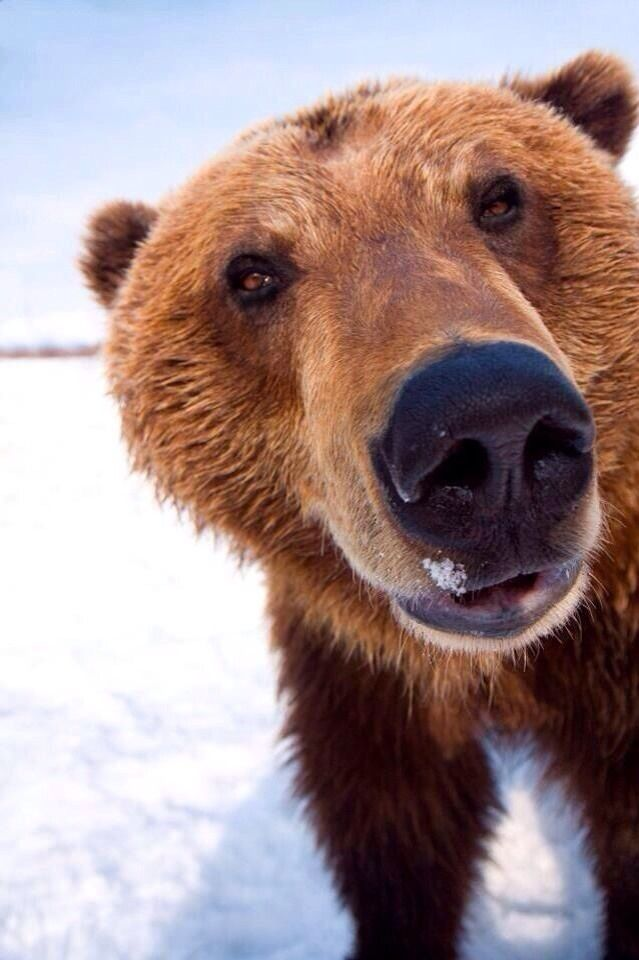 allisonquarry:hullo!  abearygoodblog:  mustangblood:  HULLO I AM BEAR  the best bear picture i have ever seen. ohh my god.  I love you!