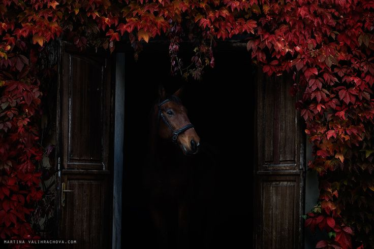 Autumn in stable - The bay horse stands at the exit of the stables.