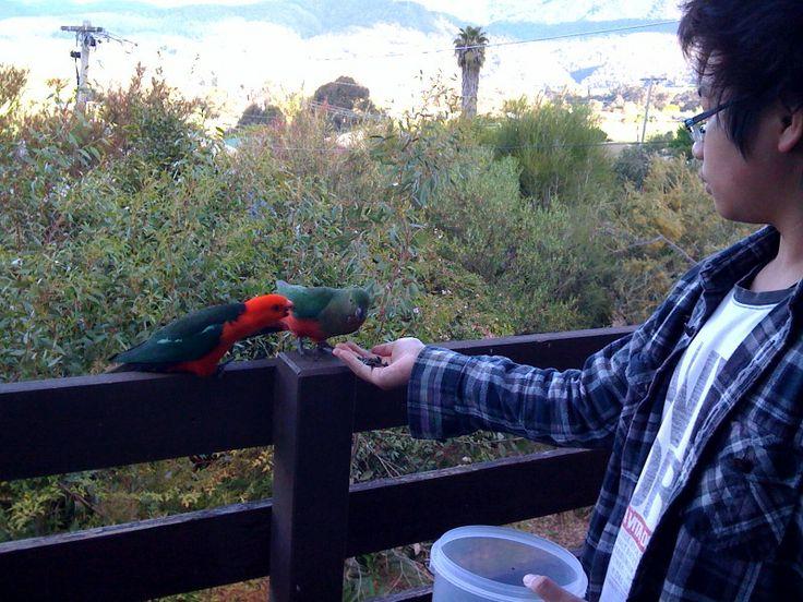 Feeding the King Parrots on the balcony.