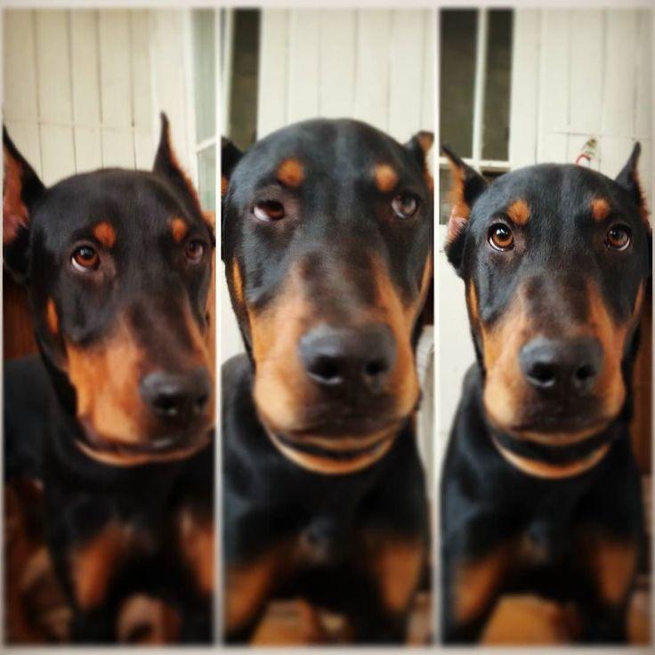 #Last #day before #2016 #junior #doberman #Tarzan . #Последний #день перед #2016 и #юниор #доберман #Тарзан'а.  #dobermanpride #dobermann #dober #dobermansofinstagram #dobby #dobylove #dobermans #puppy #dog #dogs #snow #winter