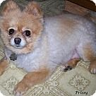 Check out Prissy, an adoptable Pomeranian on Adopt-a-Pet.com.