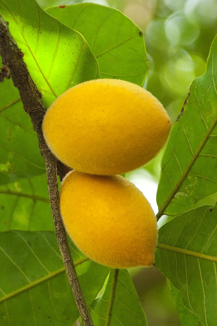 "Macaranduba (Pouteria ramiflora) or ""bully tree"", is an edible fruit tree native to the Amazon regions of Brazil. The fruit has a soft white pulp and can be eaten raw."