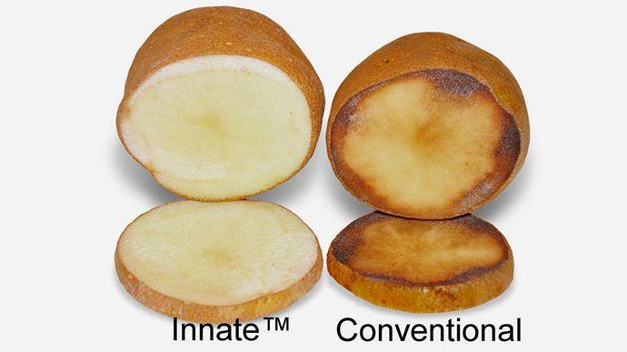 Un'altra patata bollente per l'Europa dopo il probabile via libera dal Dipartimento dlel'Agricoltura Usa alla messa in commercio della Innate Potato