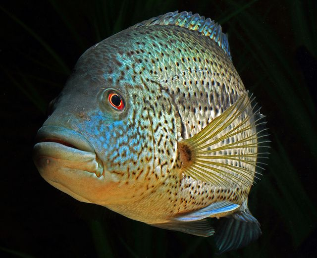 130 best images about big cichlids on pinterest wolves for Freshwater wolf fish