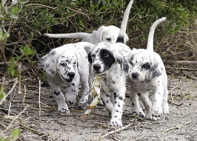 The Puppies Prize Setter Anglais