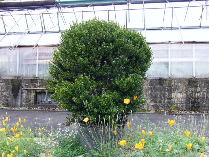 Trend Myrtus munis Botanischer Garten Marburg