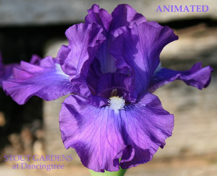 "(M. Sutton 2008) Intermediate bearded iris, 20"" E-M. Flowers are violet blue with a hint of red. Seedling R-632-A: Wise X Thunder Quay. Flashy white beards on violet-red flowers! IRIS SHIP JULY - SEPT"