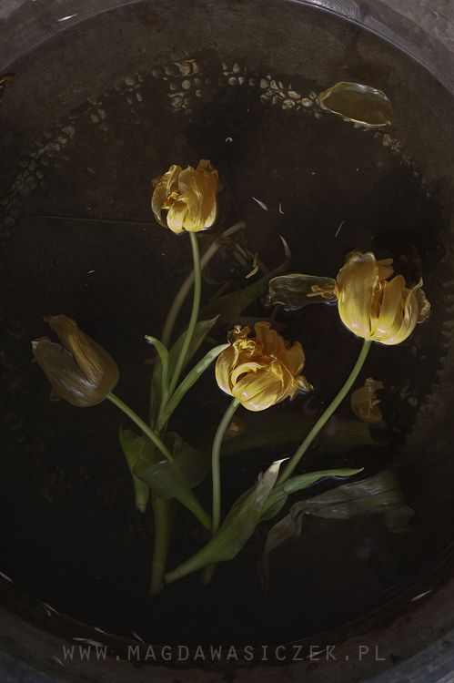 Second life of yellow tulips