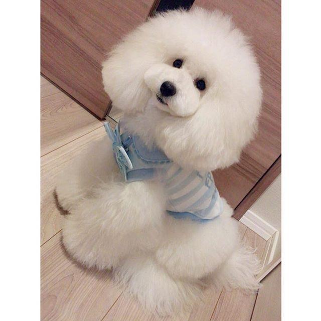 まっしろfleurかわいい トイプードル プードル ホワイトプードル プードルホワイト トイプードル部 白ぷー 白プー 犬 いぬ イヌ Dog 愛犬 大切 癒し かわいい ふわふわ ふわもこ部 ふわもこ部ワンコ いぬなしでは生 可愛い犬 トイ