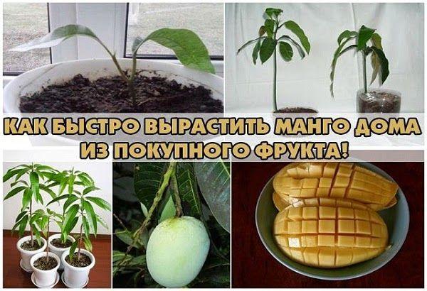 Всё самое интересное!: Как вырастить манго в домашних условиях из косточк...