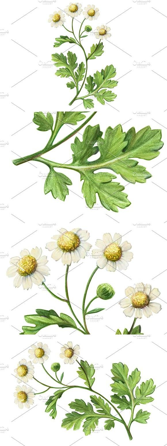 Feverfew Pencil Drawing Isolated Pencil Drawings Feverfew Drawings