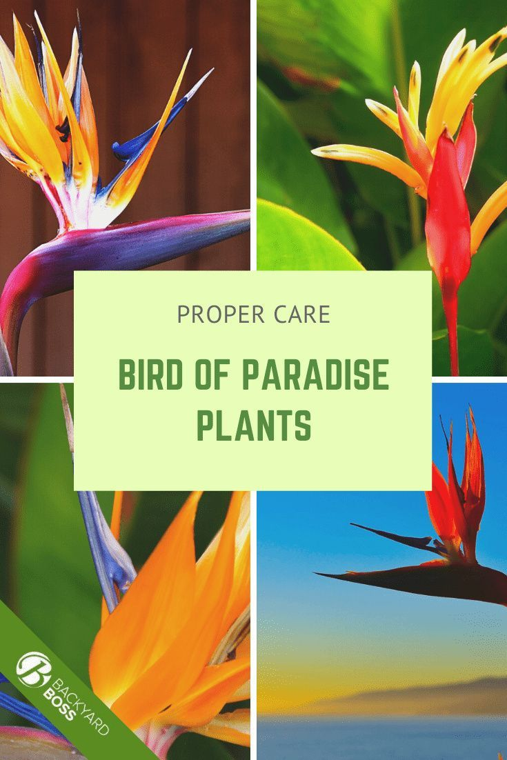 Bird Of Paradise Guide How To Take Care Of A Bird Of Paradise Plant In 2020 Paradise Plant Birds Of Paradise Plant Birds Of Paradise