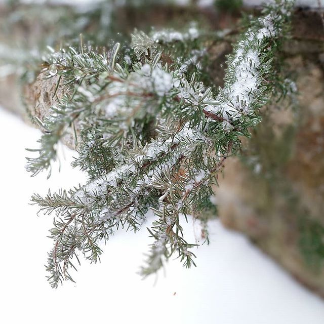 The beautiful snow and ice are gently coating our rosemary bush at Fonte Martino. As wonderful and peaceful as it is we are happy tomorrow will be warmer... #instawinter #instatoday #instahome #instalove #instaweather #instasnow #winter #home #love #snow #weather #today #freezing #tree