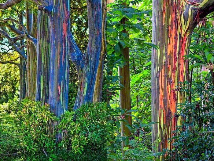 The Colors On These Rainbow Eucalyptus Trees Rainbow Eucalyptus