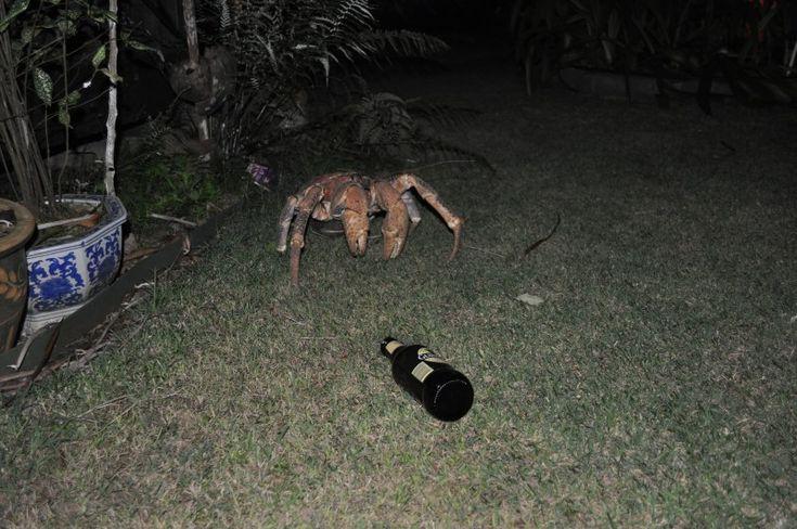 Albert the robber crab, Christmas Island