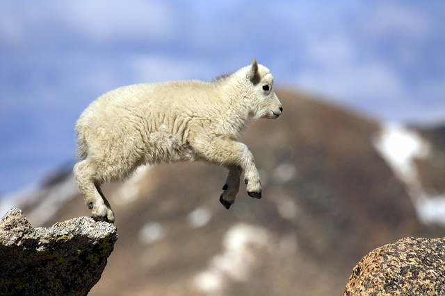 Rocky Mountain Goat Kid Fearless Baby Goats Cute Baby