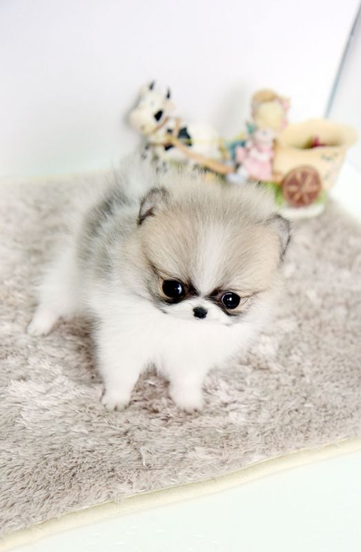 white micro teacup pomeranian micro teacup pomeranian adorable it s so cute i can t 5611