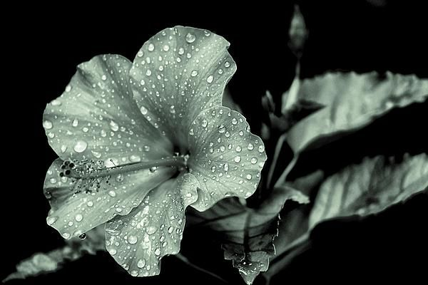 A hibiscus out on my patio after I watered it and done in a monochromatic edit.