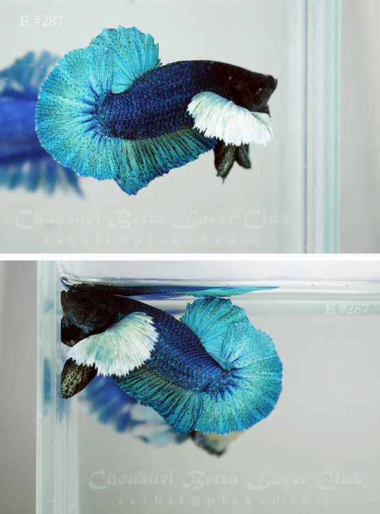 Big ear turquoise halfmoon plakat fancy bettas for Baby betta fish care