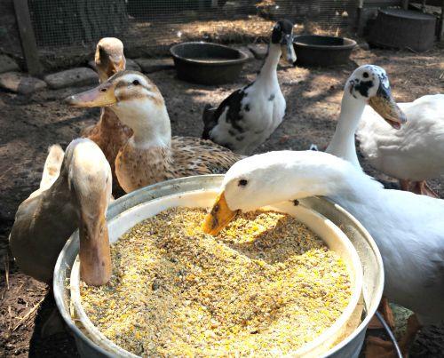 best 20 backyard ducks ideas on pinterest duck coop raising ducks