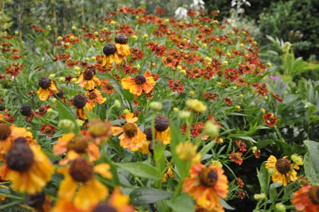 Helenium Easy To Grow And Divide Summer Blooming