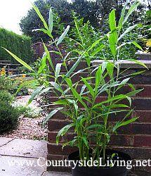 Выращивание имбиря. Имбирь растет в горшке дома, а на лето переезжает в сад