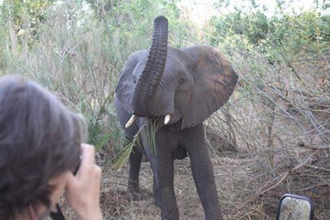 Talk about a close encounter of the Elephant kind!  Whilst on a game drive at River Lodge yesterday, we were busy tracking an Elephant herd when all of a sudden, this young female decided to take a closer look at our guests! Little did she know that she would be providing our guests with the most amazing photo opportunity!