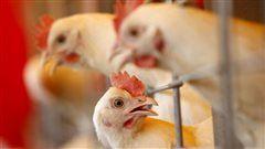 En Columbia Británica ya suman diez las granjas infectadas con la gripe aviar