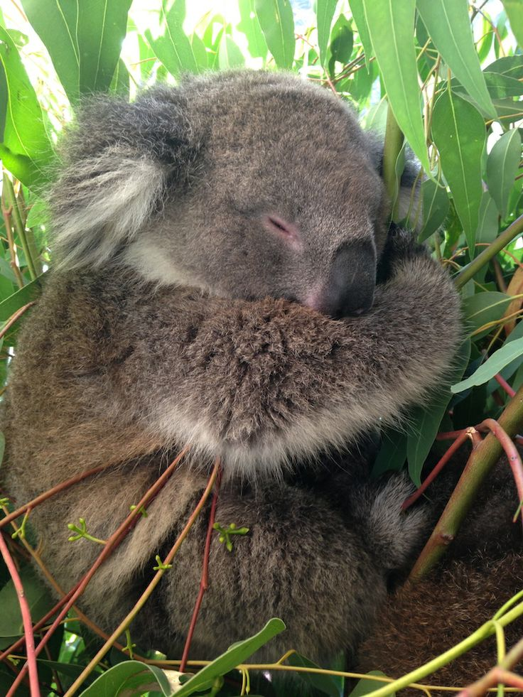 341 best koala 39 s images on pinterest koala bears koalas. Black Bedroom Furniture Sets. Home Design Ideas