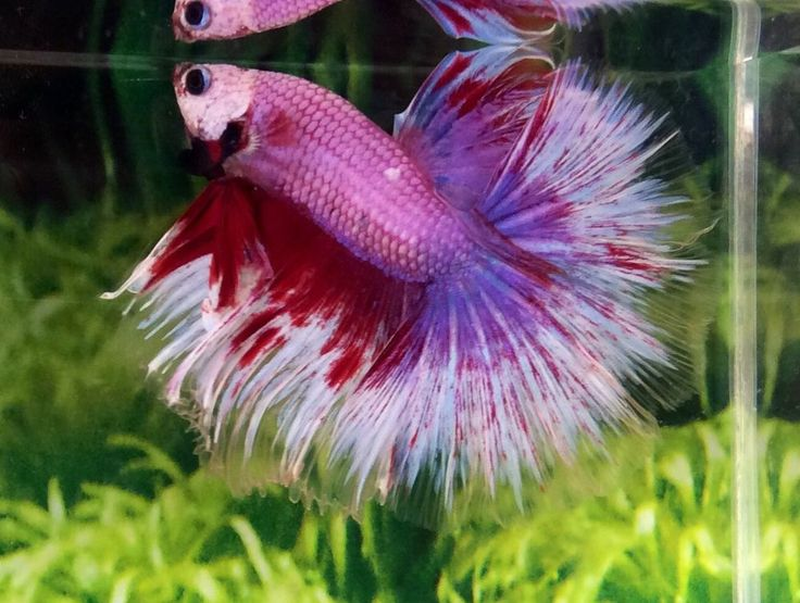 H20 thai import butterfly lavender hm halfmoon betta male for How long can a betta fish live