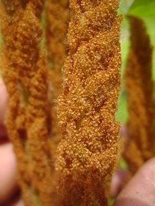 Descriptions and articles about the Cinnamon Fern, scientifically known as Osmunda cinnamomea in the Encyclopedia of Life. Includes Overview; Comprehensive Description; Distribution; Physical Description; Morphology; Diagnostic Description; Ecology; Habitat; General Ecology; Life History and Beha...