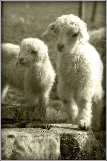 Bébés chèvres angora - un des animaux que vous pourrez découvrir dans le parc animalier des gîtes du Martinaa ... Bises ... Valérie ... 33(0)231 322 480 ou www.martinaa.fr