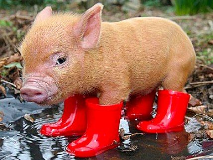 "mamabear: rain boots- the pig says, ""it's a rain boot kind of day!""  ;)"