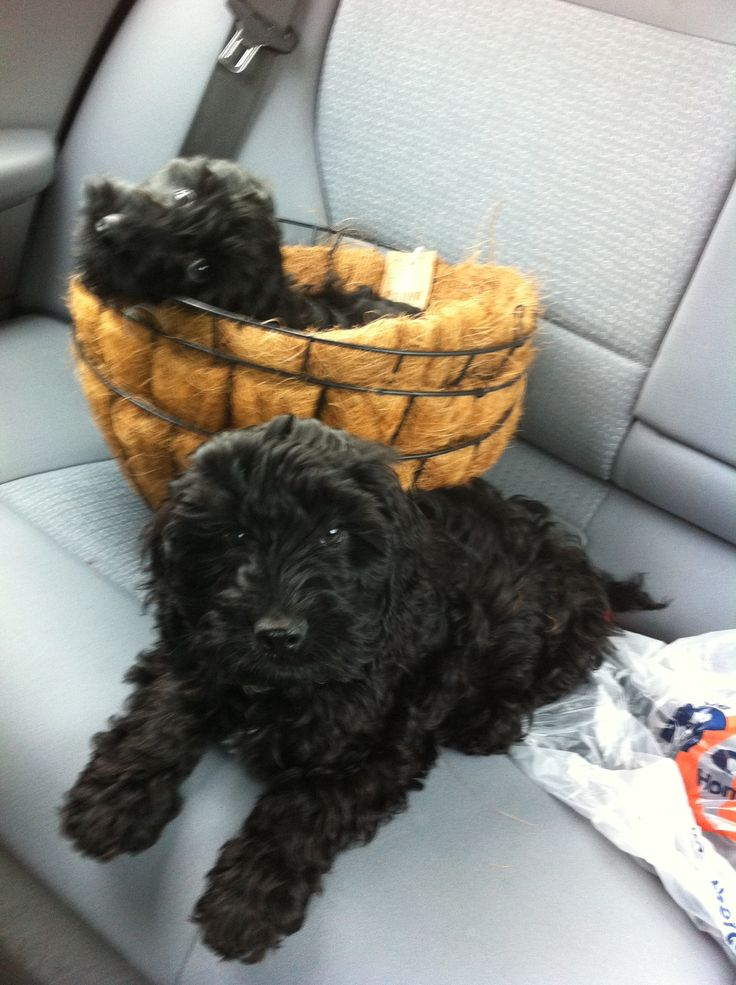 Otter and Mabel, our two black cockapoo's